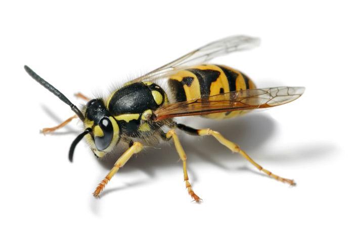 Ätherische Öle gegen Wespen
